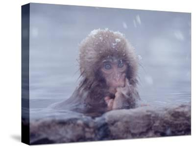 Japanese Macaques in Shiga Mountains of Japan-Co Rentmeester-Stretched Canvas Print