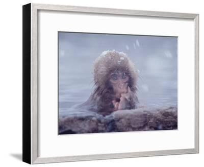Japanese Macaques in Shiga Mountains of Japan-Co Rentmeester-Framed Photographic Print