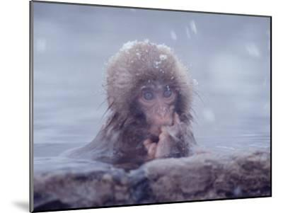 Japanese Macaques in Shiga Mountains of Japan-Co Rentmeester-Mounted Photographic Print