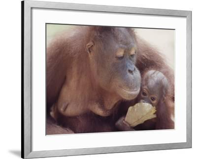 Orangutans in Captivity, Sandakan, Soabah, and Malasia, Town in Br. North Borneo-Co Rentmeester-Framed Photographic Print