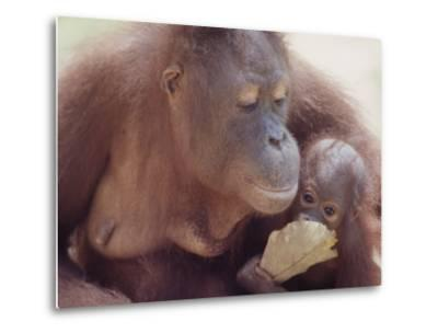 Orangutans in Captivity, Sandakan, Soabah, and Malasia, Town in Br. North Borneo-Co Rentmeester-Metal Print
