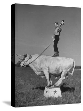 Boy Standing on Shorthorn Bull at White Horse Ranch-William C^ Shrout-Stretched Canvas Print