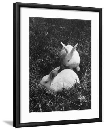 Two White Rabbits Nestled in Grass, at White Horse Ranch-William C^ Shrout-Framed Photographic Print