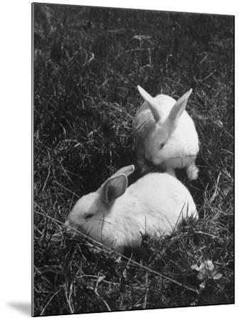 Two White Rabbits Nestled in Grass, at White Horse Ranch-William C^ Shrout-Mounted Photographic Print