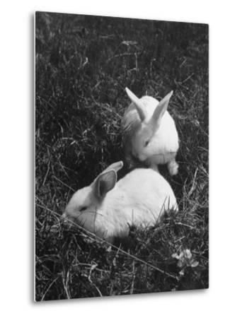 Two White Rabbits Nestled in Grass, at White Horse Ranch-William C^ Shrout-Metal Print