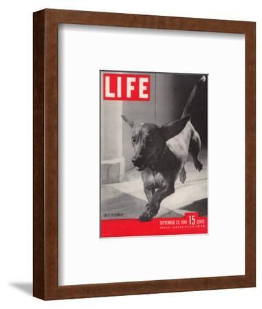 Dachsund Rudy Trotting Across Doorway in his Mexico City Home, September 23, 1946-Frank Scherschel-Framed Photographic Print