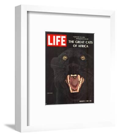 The Great Cats of Africa, Black Leopard, January 6, 1967-John Dominis-Framed Photographic Print