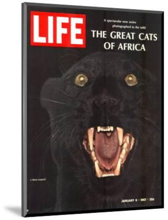 The Great Cats of Africa, Black Leopard, January 6, 1967-John Dominis-Mounted Photographic Print