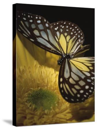 Close-Up of a Monarch Butterfly on a Yellow Asteraceae Flower--Stretched Canvas Print