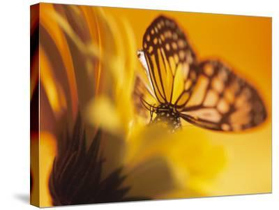 Close-Up Studio Shot of a Delicate Monarch Butterfly Resting on a Yellow Asteraceae Flower--Stretched Canvas Print