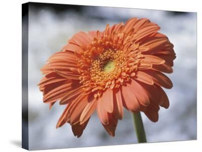 Orange Gerber Daisy Flower Blooming--Stretched Canvas Print