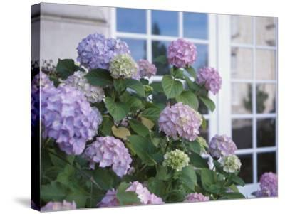 Purple Hydrangeas Blossoming by Window of Cottage--Stretched Canvas Print