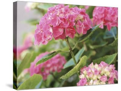 Colorful Blossoms of Pink Hydrangea--Stretched Canvas Print