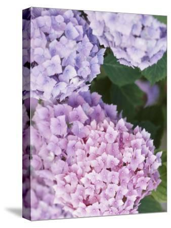 Delicate Pink and Purple Hydrangea Blossoms in Nature--Stretched Canvas Print