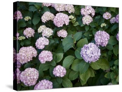 Delicate Purple Hydrangea Blossoms in Nature--Stretched Canvas Print