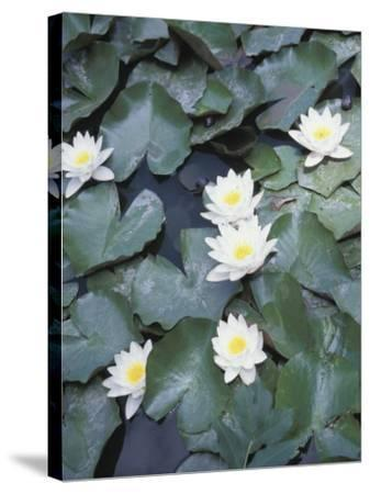 Beautiful Blooming Water Lilies Floating on Pond--Stretched Canvas Print