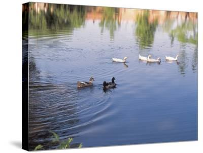 Wild Ducks Swimming in a Pond--Stretched Canvas Print