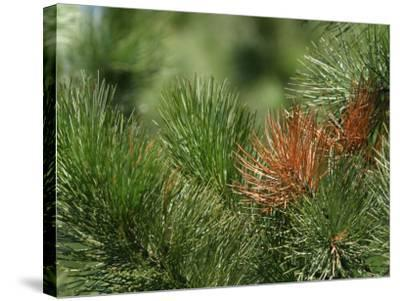 Close Up of Fresh Green Pine Needle Branches--Stretched Canvas Print