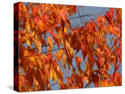 Leaves During Autumn on a Tree in Nature--Stretched Canvas Print