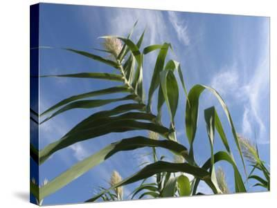 View of Corn Stalk and Blue Sky--Stretched Canvas Print