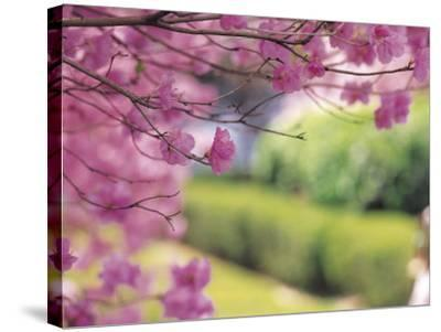 Selective Focus of Beautiful Blooming Flowers on Tree Branches--Stretched Canvas Print