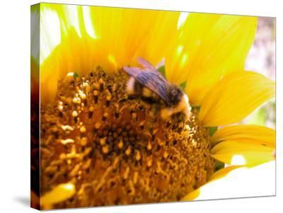 Bee Hovering over Blooming and Bright Sunflower Plant--Stretched Canvas Print