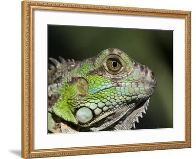 Green Iguana, San Iguacio, Belize-Jane Sweeney-Framed Photographic Print