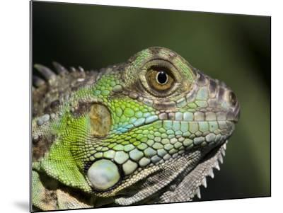 Green Iguana, San Iguacio, Belize-Jane Sweeney-Mounted Photographic Print
