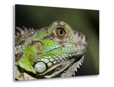 Green Iguana, San Iguacio, Belize-Jane Sweeney-Metal Print