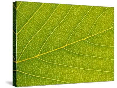 Veins of Leaf-Jon Arnold-Stretched Canvas Print