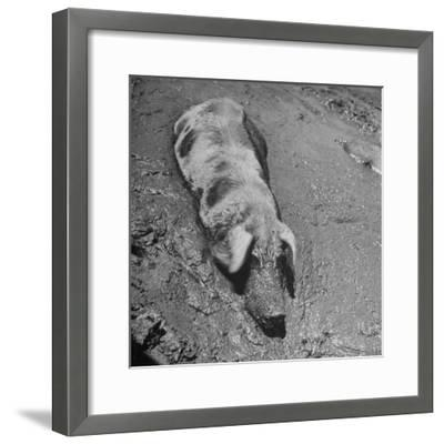 Hog Weighing 200 Lbs. Wallowing in a Mud Pile-Bob Landry-Framed Photographic Print