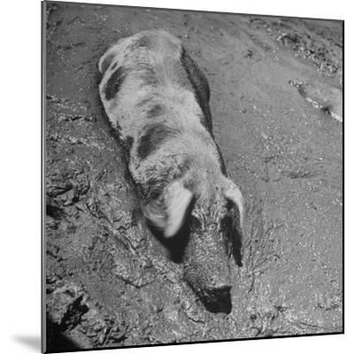 Hog Weighing 200 Lbs. Wallowing in a Mud Pile-Bob Landry-Mounted Photographic Print