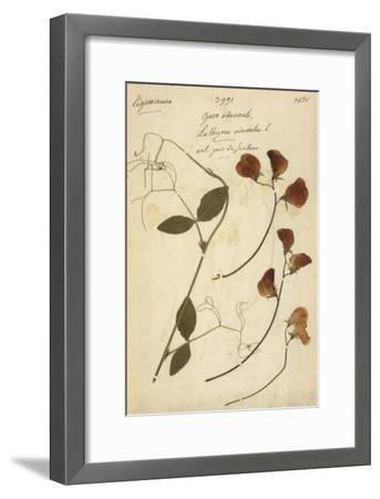 Lathyrus--Framed Premium Giclee Print
