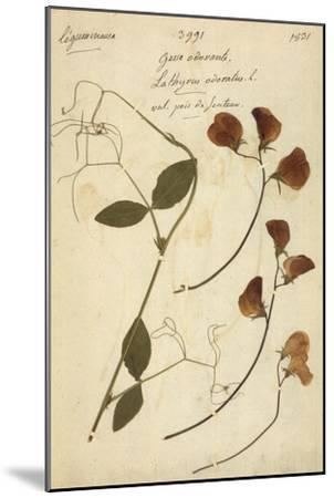 Lathyrus--Mounted Premium Giclee Print