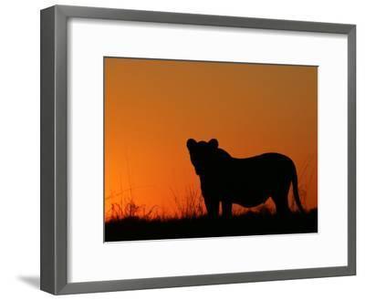 Silhouetted African Lioness, Panthera Leo, at Twilight, Okavango Delta, Botswana-Beverly Joubert-Framed Photographic Print