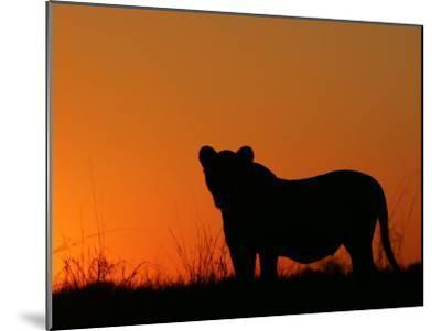 Silhouetted African Lioness, Panthera Leo, at Twilight, Okavango Delta, Botswana-Beverly Joubert-Mounted Photographic Print