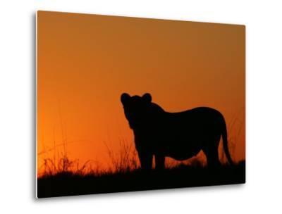 Silhouetted African Lioness, Panthera Leo, at Twilight, Okavango Delta, Botswana-Beverly Joubert-Metal Print