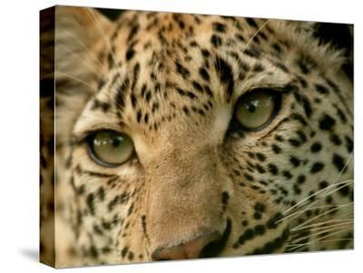 Close-Up of the Face of a Leopard, Panthera Pardus, Mombo, Okavango Delta, Botswana-Beverly Joubert-Stretched Canvas Print