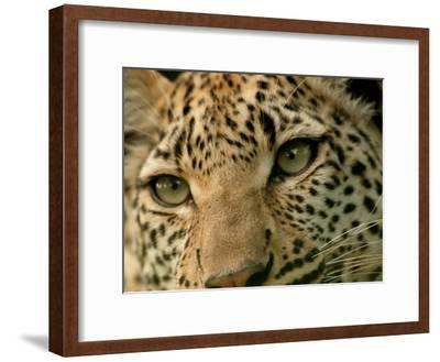 Close-Up of the Face of a Leopard, Panthera Pardus, Mombo, Okavango Delta, Botswana-Beverly Joubert-Framed Photographic Print