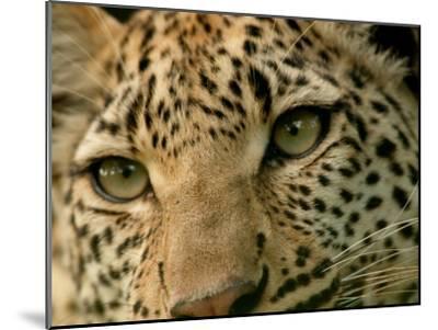 Close-Up of the Face of a Leopard, Panthera Pardus, Mombo, Okavango Delta, Botswana-Beverly Joubert-Mounted Photographic Print