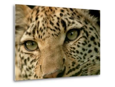 Close-Up of the Face of a Leopard, Panthera Pardus, Mombo, Okavango Delta, Botswana-Beverly Joubert-Metal Print
