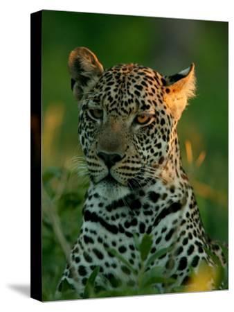 Leopard, Panthera Pardus, Resting in the Grass, Mombo, Okavango Delta, Botswana-Beverly Joubert-Stretched Canvas Print