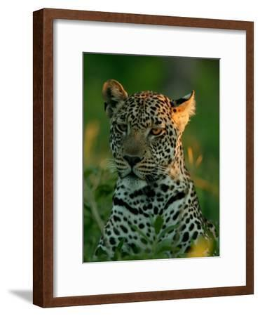 Leopard, Panthera Pardus, Resting in the Grass, Mombo, Okavango Delta, Botswana-Beverly Joubert-Framed Photographic Print