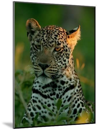 Leopard, Panthera Pardus, Resting in the Grass, Mombo, Okavango Delta, Botswana-Beverly Joubert-Mounted Photographic Print