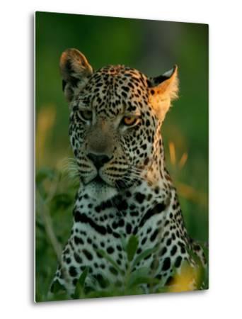 Leopard, Panthera Pardus, Resting in the Grass, Mombo, Okavango Delta, Botswana-Beverly Joubert-Metal Print