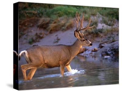 Mule Deer Crosses a River, Colorado River, Grand Canyon National Park, Arizona, United States-Kate Thompson-Stretched Canvas Print