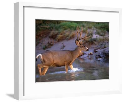 Mule Deer Crosses a River, Colorado River, Grand Canyon National Park, Arizona, United States-Kate Thompson-Framed Photographic Print