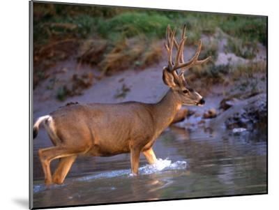 Mule Deer Crosses a River, Colorado River, Grand Canyon National Park, Arizona, United States-Kate Thompson-Mounted Photographic Print