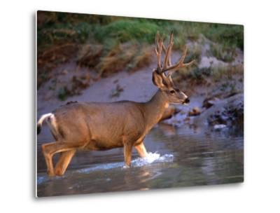 Mule Deer Crosses a River, Colorado River, Grand Canyon National Park, Arizona, United States-Kate Thompson-Metal Print