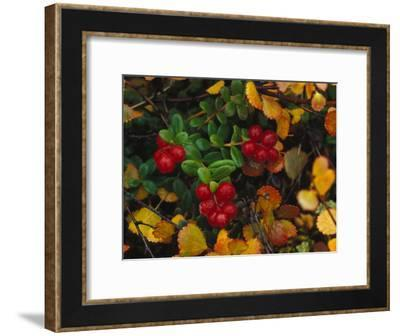 Lowbush Cranberries in the Yukon, Canada-Nick Norman-Framed Photographic Print